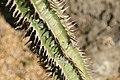 Euphorbia viguieri 4zz.jpg