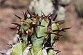 Euphorbia virosa- Gifboom - poison tree-0501 - Flickr - Ragnhild & Neil Crawford.jpg