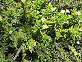 Euphorbia x ambohipotsiensis (7996903071).jpg