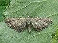 Eupithecia satyrata - Satyr pug (26077626587).jpg