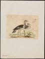 Eupodotis caffra - 1820-1860 - Print - Iconographia Zoologica - Special Collections University of Amsterdam - UBA01 IZ17200035.tif