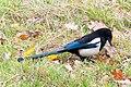 Eurasian Magpie (39362957264).jpg