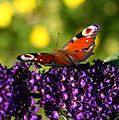 European Peacock butterfly (Inachis io) on a Buddleja (3804887344).jpg