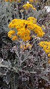 European honey bee on senecio cineraria flower.jpg