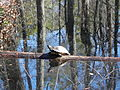 FL Yellow Belly Slider (5473854498).jpg