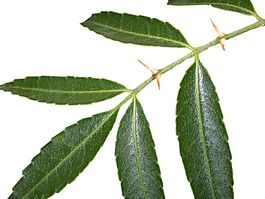 Fagara coco leaves.jpg