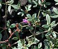 Fagonia cretica - Flickr - S. Rae (2).jpg