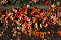 Fallen Autumn Leaves (15413200328).jpg