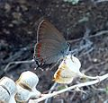 False Ilex Hairstreak. Satyrium esculi - Flickr - gailhampshire (1).jpg