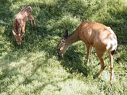 Fawn and mother.jpg