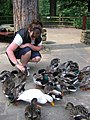 Feeding the Ducks at Fairholmes - geograph.org.uk - 195312.jpg
