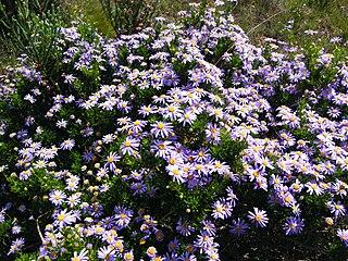 <i>Felicia fruticosa</i> A shrublet in the daisy family from South Africa