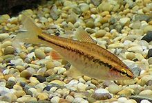 Female Cherry Barb 500.jpg