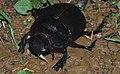Female Dung Beetle (Heliocopris tyrannus) (8752568105).jpg