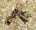 Female Field Digger Wasp (Mellinus arvensis) with prey (23726832561).jpg
