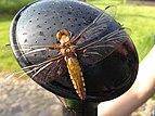 Female libellula depressa on watering can.jpg