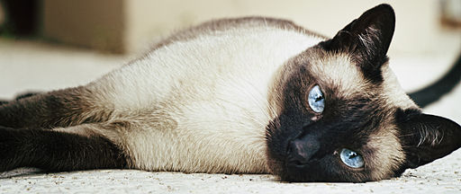 Female siamese cat