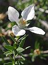 Fendlera rupicola flower1.jpg