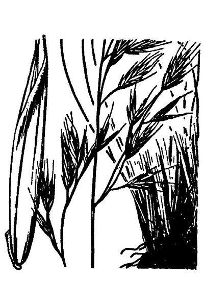 File:Festucaidahoensis.jpg