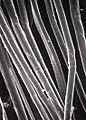 Fibres de lin rouies observées par microscopie électronique à balayage..jpg