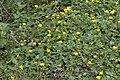 Ficaire fausse-renoncule (Ranunculus ficaria)-0041.jpg