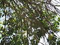Ficus Geniculata V. Abnormalis4.JPG
