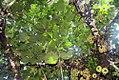 Ficus auriculata 14zz.jpg