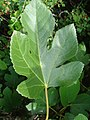 Ficus carica.001 - Monfrague.jpg