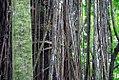 Ficus citrifolia 0zz.jpg