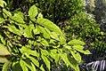 Ficus dammaropsis 4zz.jpg