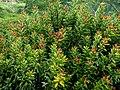Ficus elastica (Caucho) (14273716222).jpg