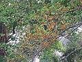 Ficus exasperata - Brahma's Banyan fruits at Peravoor 2018 (2).jpg
