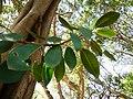 Ficus rubiginosa, stam, twyg en blare, Pretoria.jpg