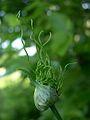 Field or Wild Garlic (Allium vineale) - Flickr - Jay Sturner (1).jpg