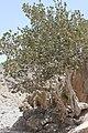 Fig tree - panoramio (1).jpg