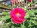 Fiore di rosa fucsia.JPG