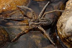 Fishing spider autotomy.jpg
