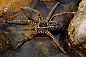 Autotomy - A fishing spider with two limbs missing