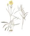 Fl. Austriac. tab. 222 - Ranunculus illyricus.png