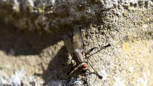 File:Flesh fly in the UK.webm