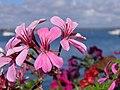Fleur (Geraniales) (3).jpg