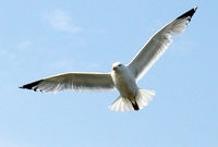 Flight.gull.arp.600pix.jpg