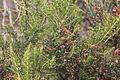 Flora della Sardegna 140 (3).JPG