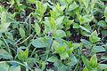Flora della Sardegna 222 (02).JPG