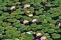 Flores Aquáticas.jpg