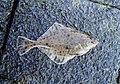 Flounder nice sportfish in Holland.jpg