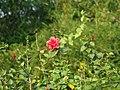 Flower Pic 2 - panoramio.jpg