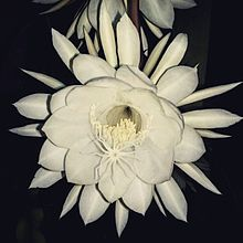 Epiphyllum oxypetalum wikipedia flower in bloomg mightylinksfo