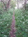 Footpath with cow parsley, Lyne - geograph.org.uk - 165996.jpg