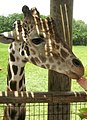 Fort Wayne Children's Zoo reticulated giraffe2.jpg